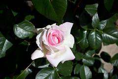gardenia(0.0), shrub(1.0), garden roses(1.0), camellia sasanqua(1.0), flower(1.0), plant(1.0), flora(1.0), petal(1.0),