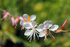 Getty Garden - Bee