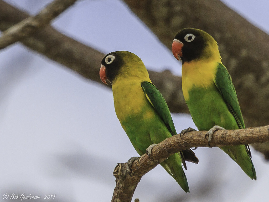 Flickr photos of yellow-collared lovebird agapornis ...