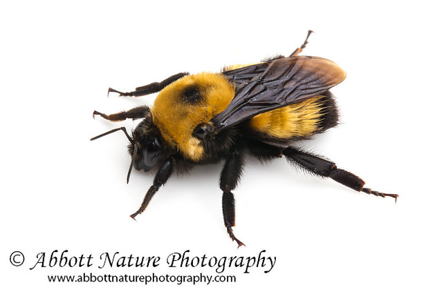 Bumble Bees Vs Honey Bees