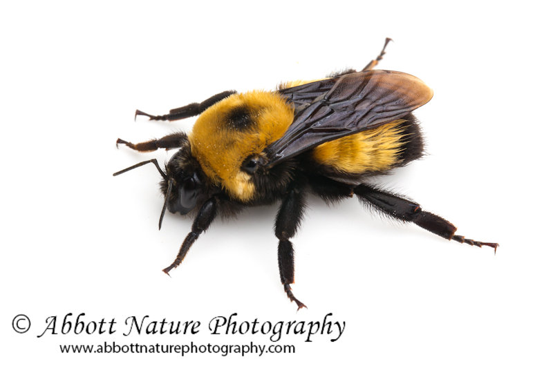 Abbott Nature Photography: Bumble Bees and Carpenter Bees!