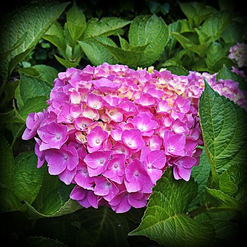 Hydrangea in bloom by Bontrop