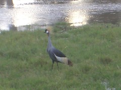 Crowned Crane - Sweetwaters 2