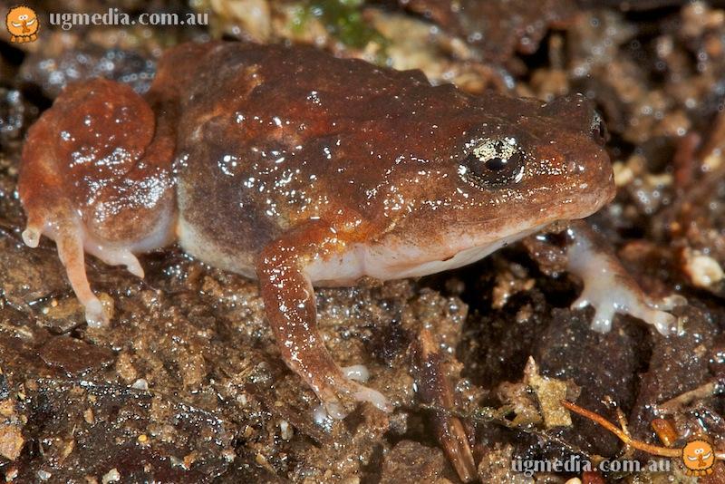 Cophixalus neglectus