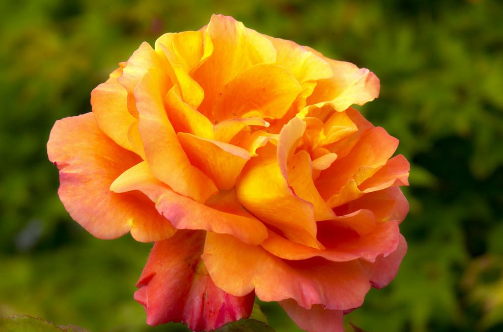 Deck Rose HDR 2012.181