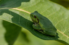Tree Frog_7988.jpg by Mully410 * Images