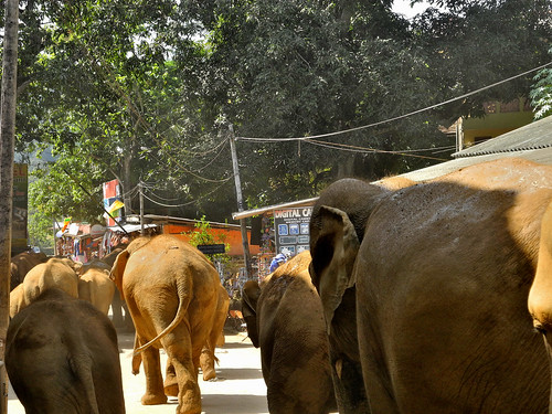 Elephant March -  Pinnawala (by Queenie)
