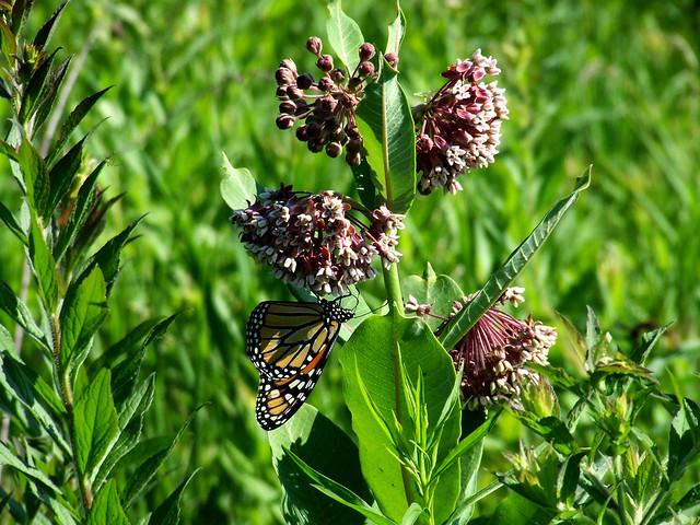 common milkweed with monarch