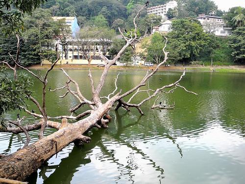 Fallen Tree on Kandy Lake  (by Queenie)