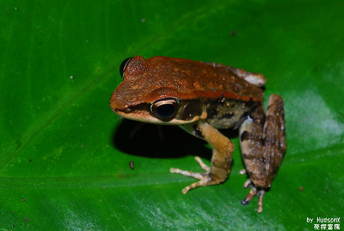 拉都希氏赤蛙(7)