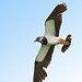 32174 Lapwing in flight at Bowland