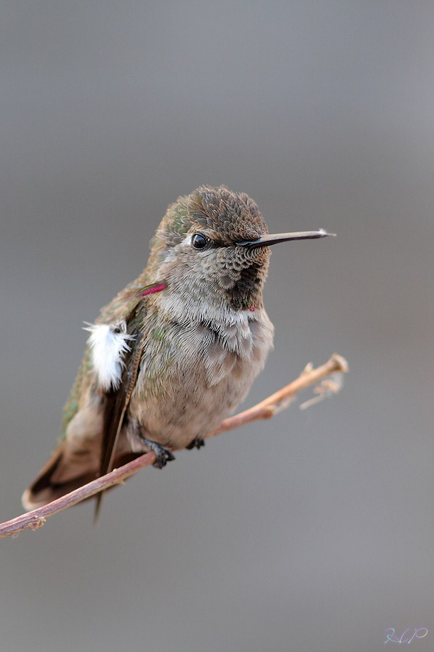 immature mele Anna's Hummingbird 070812-2