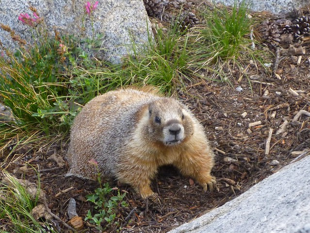 how to catch a marmot