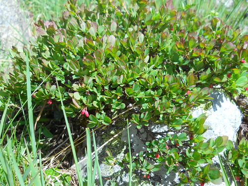Alpine Bilberry