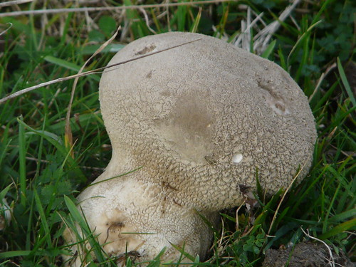 Mosaic Puffball (Lycoperdon utriforme) by Peter Orchard