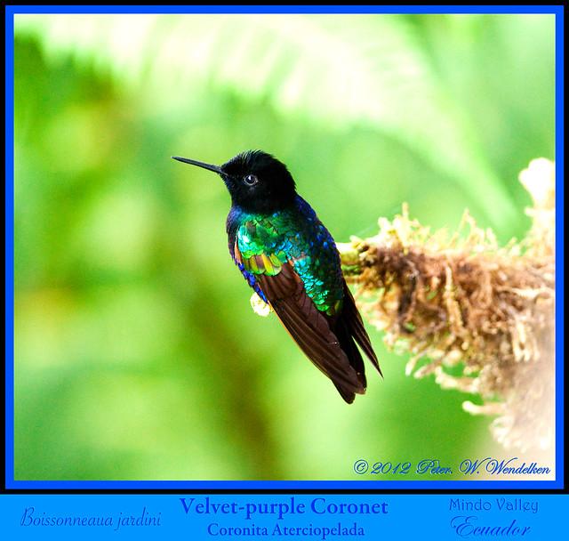 Hummers of the World  Hummingbird