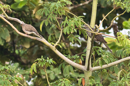 spotted dove and Asian Koel
