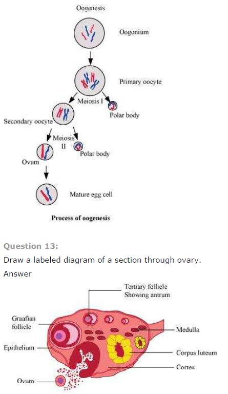 endometrium diagram