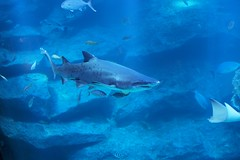 animal, fish, shark, sea, ocean, marine biology, underwater, carcharhiniformes, requiem shark, tiger shark,