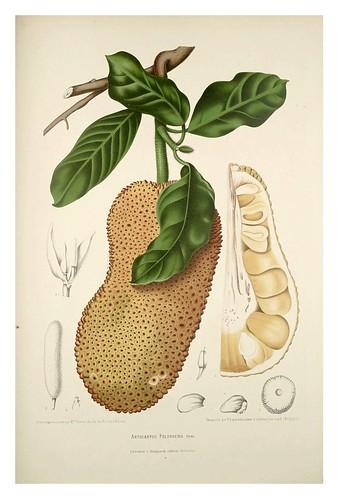 016-Fruto del arbol del pan-Fleurs, fruits et feuillages choisis de l'ille de Java-1880- Berthe Hoola van Nooten