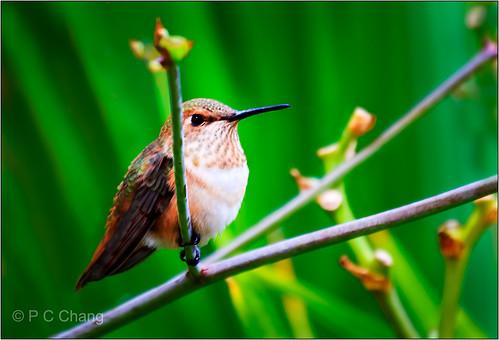 summer flower green bird garden hummingbird foliage crocosmialucifer thegalaxy pcchang flickrstruereflection1 rememberthatmomentlevel1 rememberthatmomentlevel2