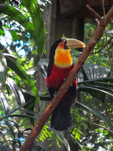 Le Parc des Oiseaux d'Iguaçu: une 2e sorte de toucan sorte de toucan, le drapeau de la Belgique