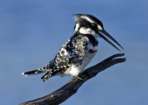 Pied Kingfisher by joysmith7mr