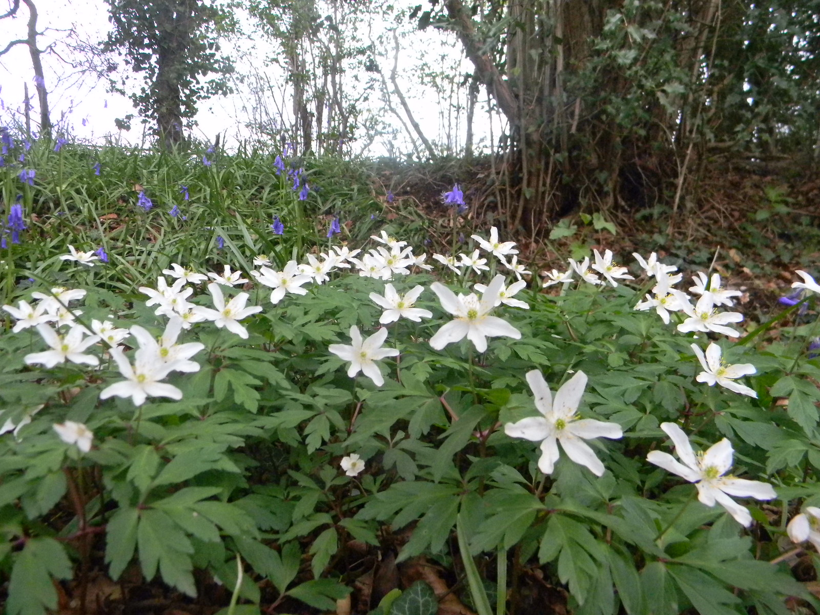 wood anenomes Ockley to Warnham