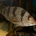 Small photo of Acantholatris monodactylus Tristan 5 fingers