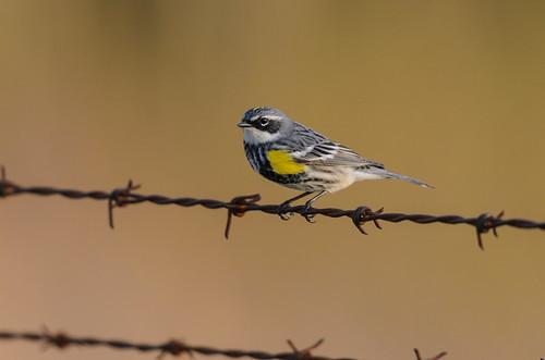 Yellow-rumped Warbler-6398.jpg