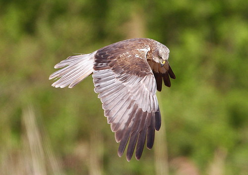 Marsh Harrier Circus aeruginosus.