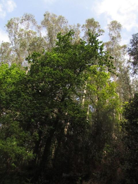 Pino y eucaliptos