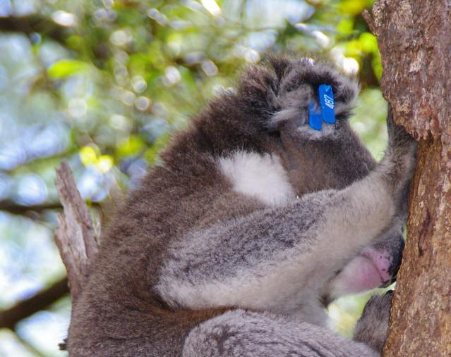 our Koala 007 (2)