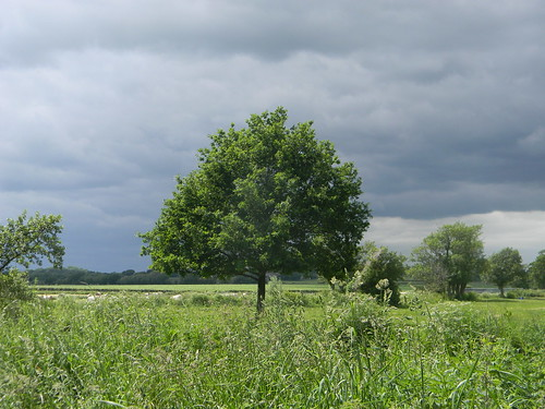 Tree by the Ouse