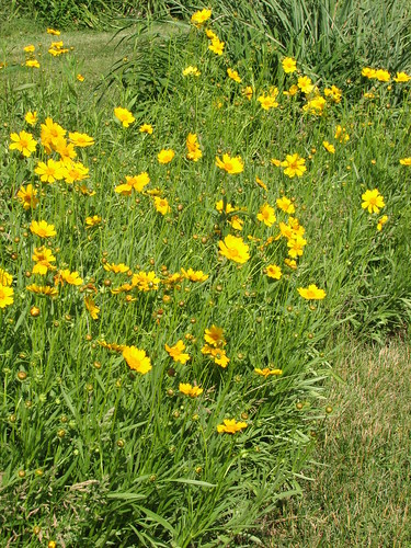 volunteer coreopsis