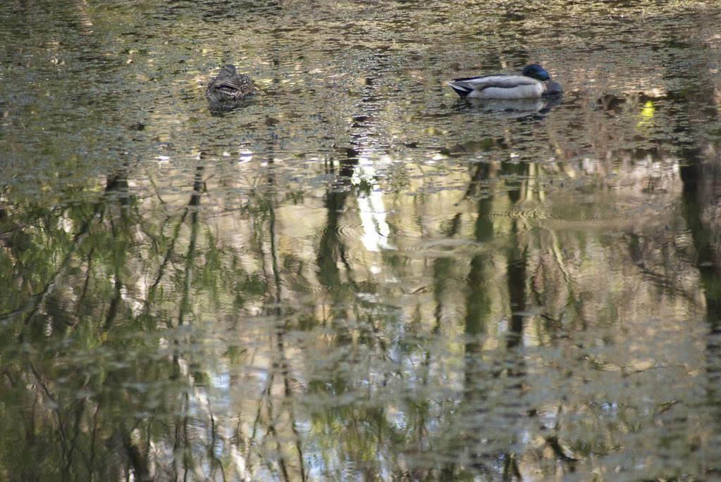 Pair of Mallards in Fuller's Lake