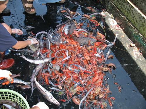 混獲,許多非目標物種來不及長大或無謂的被犧牲。(圖片來源:「許海洋一個未來」特展)