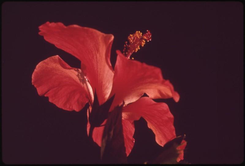 Hibiscus, November 1973