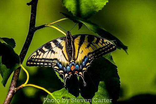 Butterfly by satdishguy