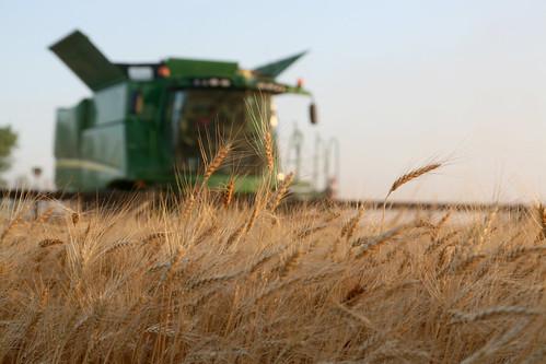 A wonderful wheat harvest in Kiowa