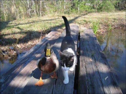 duckycat