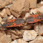 Melanocoryphus tristrami