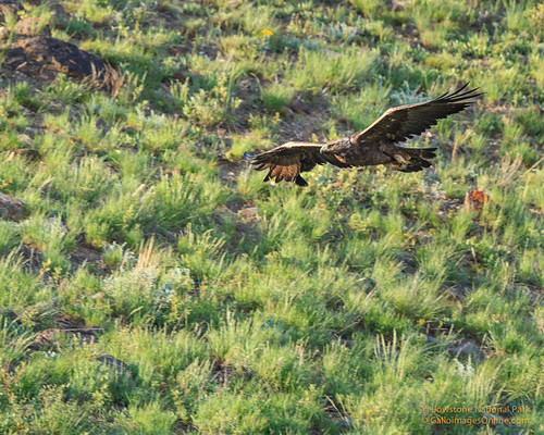 Golden Eagle (Yellowstone National Park) by Mark/MPEG (Midwest Photography Enthusiasts Group)