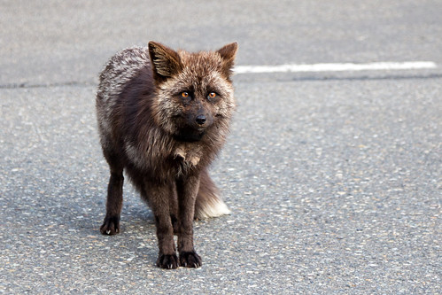 Roadside fox