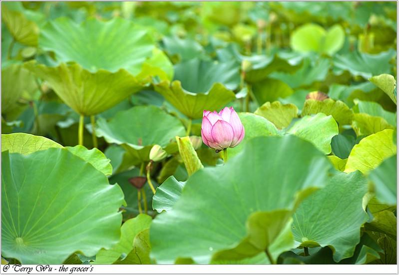 2012-06-24 三重疏洪荷花公園