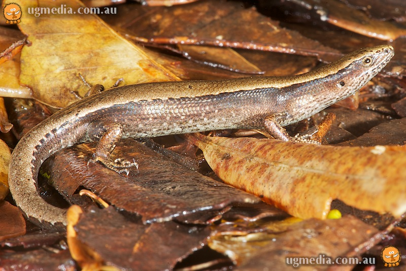Grey-bellied sunskink (Lampropholis robertsi)