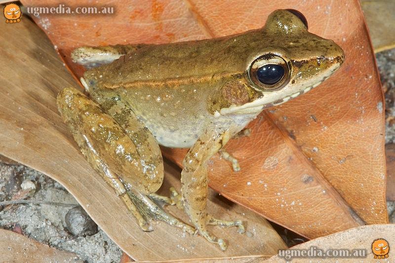 Wood frog (Rana daemeli)
