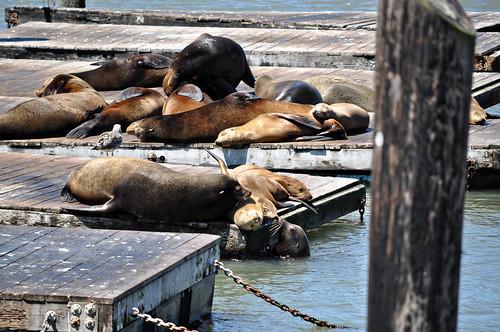 Sea Lions in San Fran