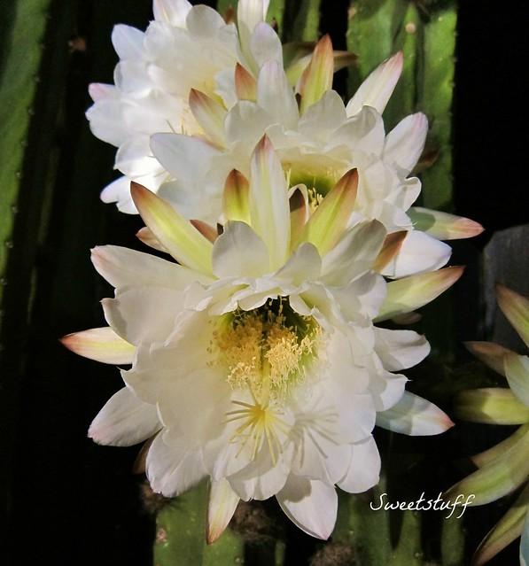 Trichocereus Pachonoi 'San Pedro' blooms