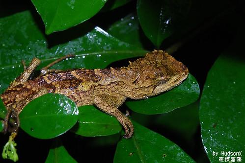 睡覺中的攀木蜥蜴